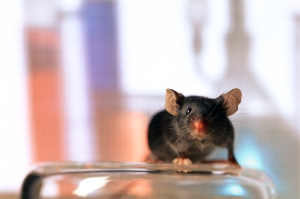 insulin in mice