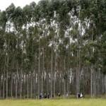 New GMO Tree Plantations Bred To Satisfy The World's Energy Needs?